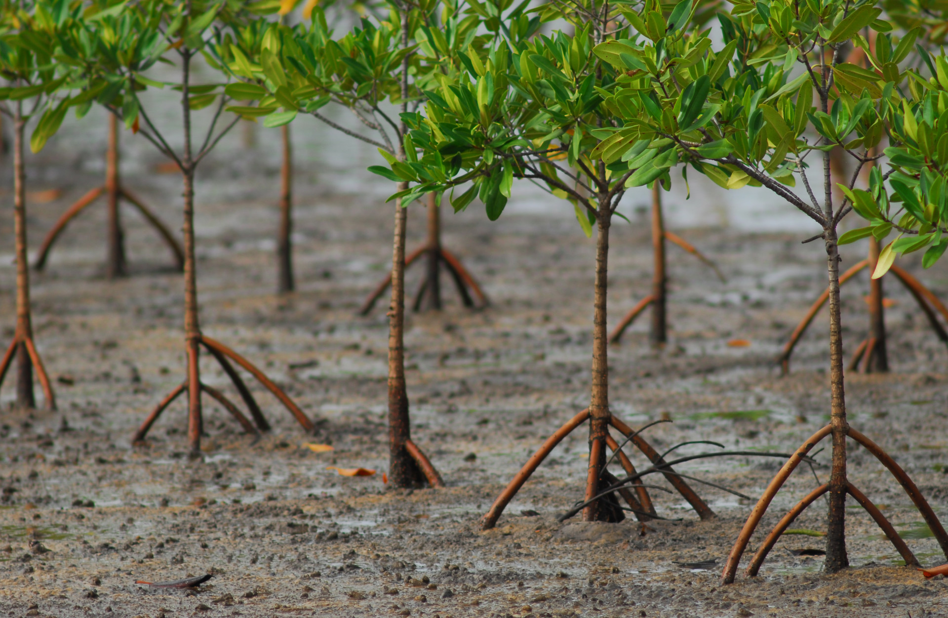 To plant or not to plant? Stopping malpractices in using mangroves ...