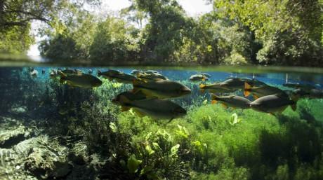 Piraputanga (Brycon hilarii) Aquário Natural, Rio Baía Bonito, Bonito area, Serra da Bodoquena (Bodoquena Mountain Range), Mato Grosso del Sul, Brazil November/December 2011 Photographed for The Freshwater Project