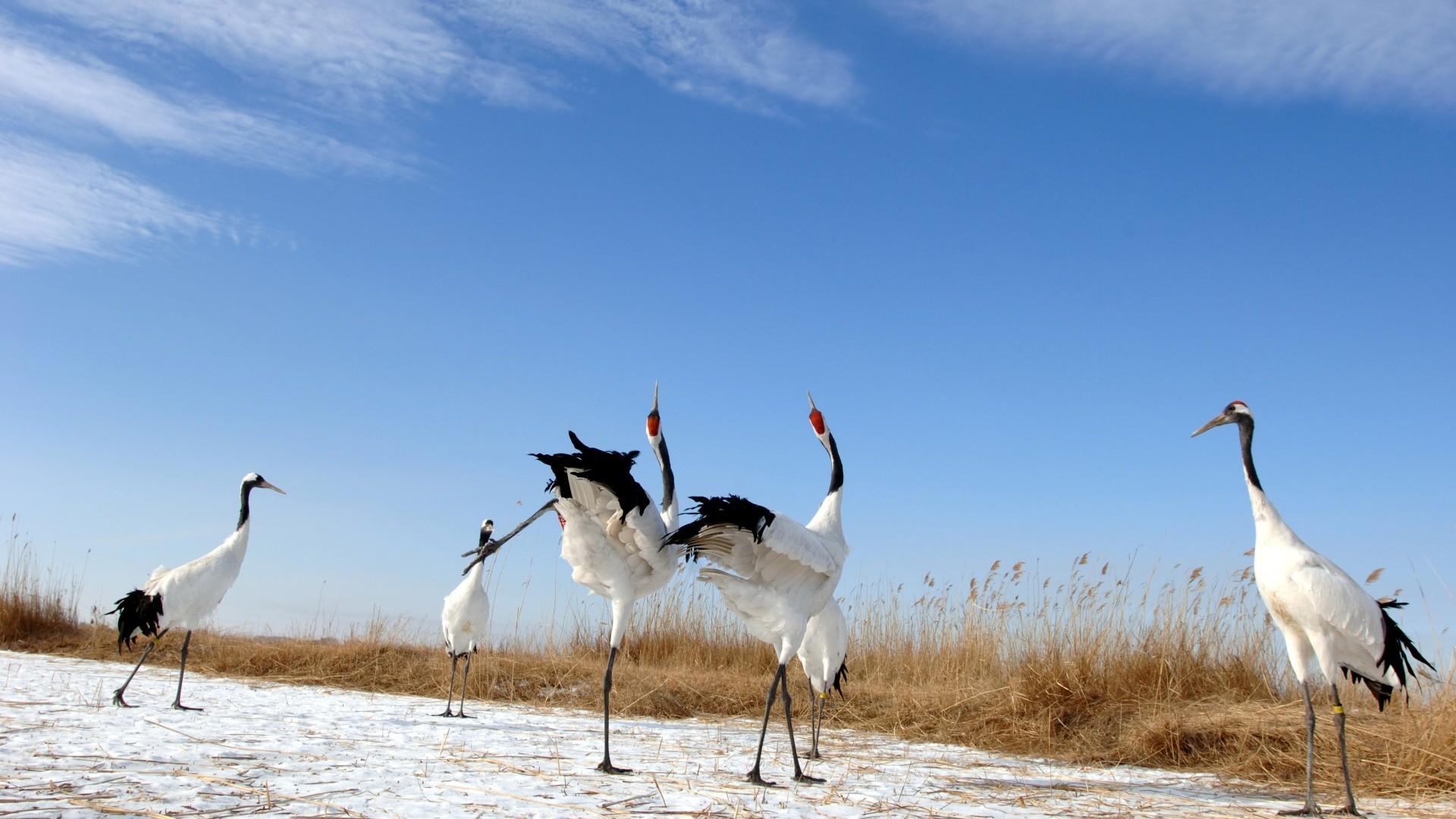 black necked cranes showing off