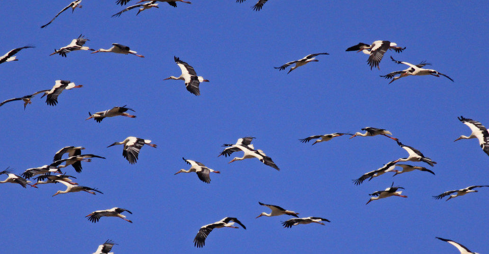 ciconia ciconia-24 white stork on migration