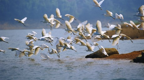 white egrets taking off resized