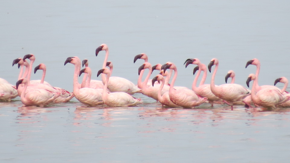 IMG_2236 Lake Ziway is famous for its Lesser and Greater Flamingos