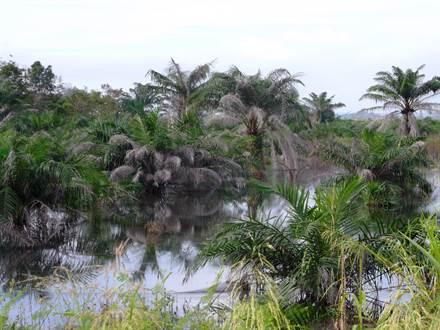 Flooded oil palm plantation, Riau