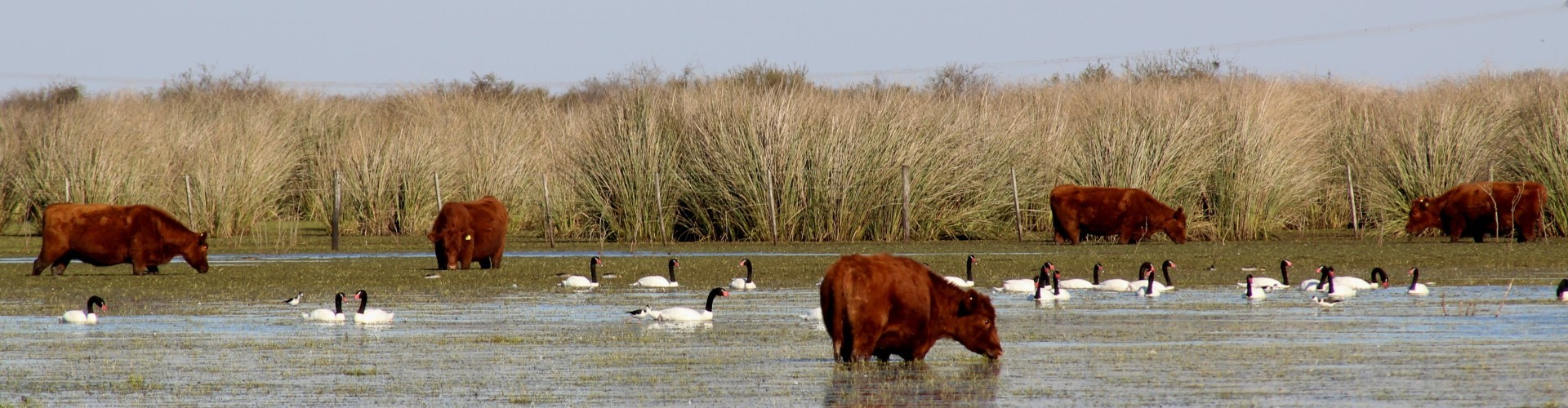 Cattle and birds in the water near an island in the Parana Delta. A photo by Ruben Quintana