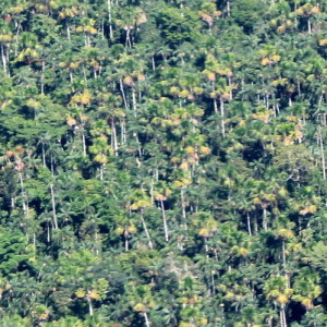 Tropical peatlands converted to palm oil for biofuels