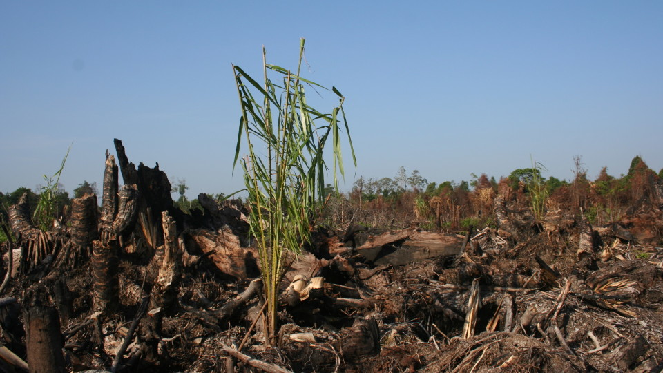 Palm oil plantation development in logged-over and burned peat swamp forest
