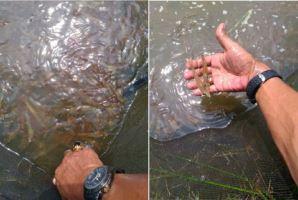 Harvesting Vannamei shrimp