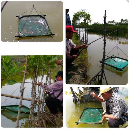 Observing the growth of Vannamei shrimp raised by Supardi