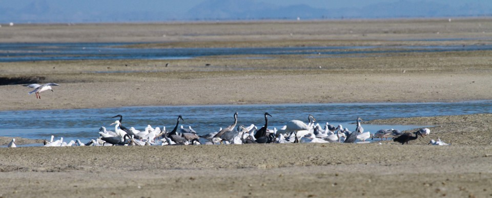 feeding birds on mudflat for blog4