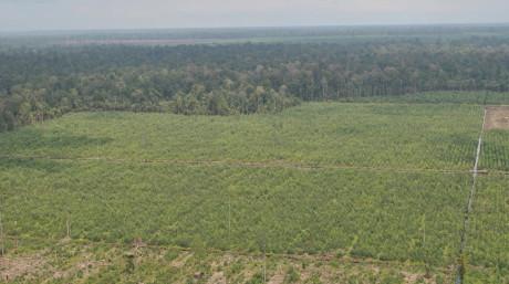 Acacia plantation (not sure)_Reza