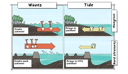 Sediment balance in a healthy mangrove-mud coast and in a disturbed, eroding mangrove-mud coast. Illustration by Joost Fluitsma.