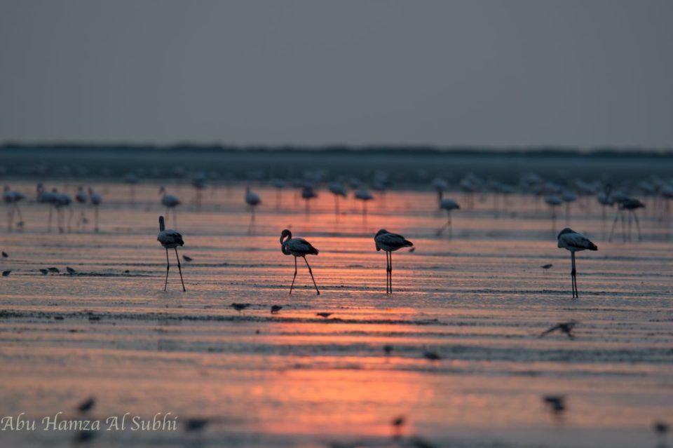Greater Flamingos gracing the sunset at Barr Al Hikman, Oman