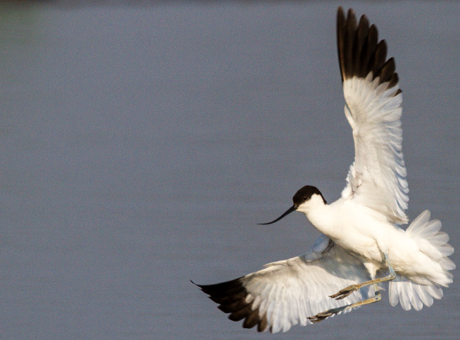 Avocet, a migratory waterbird found across Asia, Europe, and Africa