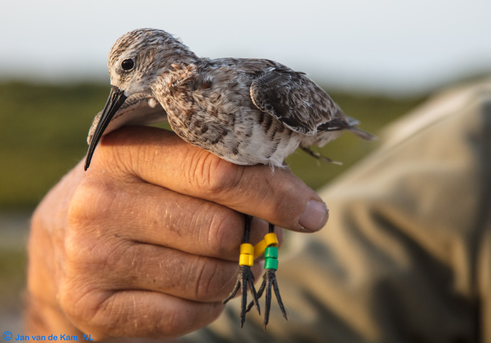 A curlew sandpiper caught and ringed in Barr Al Hikman in March 2018. Photo by Jan van de Kam.