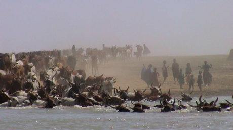 Cattle crossing a river in Mali.