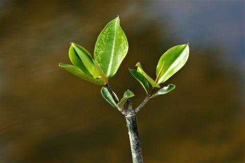 Healthy Mangrove Seedling