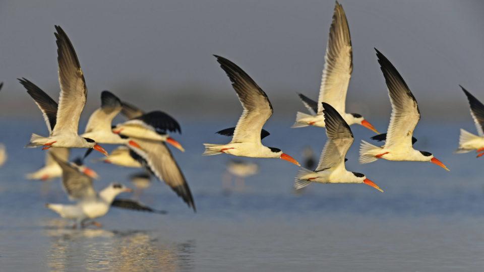 A flock of Endangered Indian Skimmer on the Jamnagar coast, by Yashodhan Bhatia