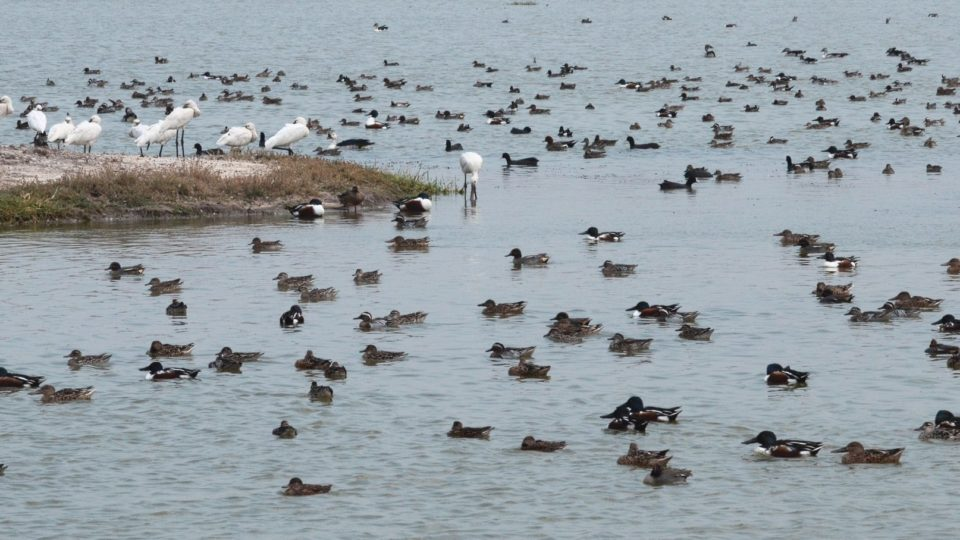 A large flock of migratory Northern Shovellor, Garganey duck, Eurasian Spoonbill and others at a wetland in Gujarat state, India. Photo by Taej Mundkur.